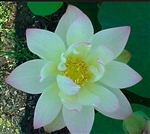 Nelumbo Green Maiden Lotus