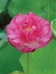 Nelumbo Momo Botan Potted Dwarf Lotus