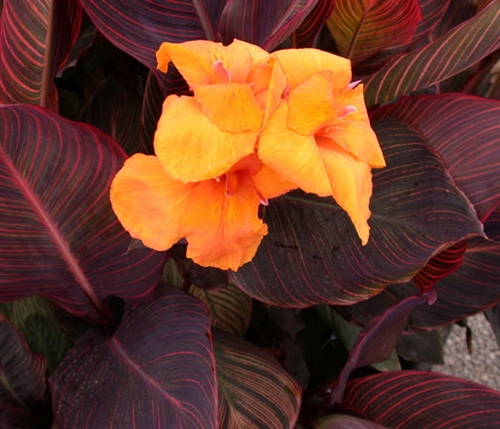 Canna African Sunset, Zone 8