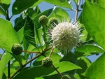 Button Bush Cephalanthus occidentalis Potted Zone 4