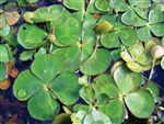Four Leaf Clover Variegated  Marsilea mutica Zone 7