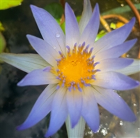 Nymphaea Dauben Tropical Water Lily