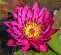Nymphaea 'Hot Pink' Tropical Water Lily