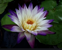 Nymphaea Purple Joy Tropical Water Lily
