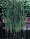 CATTAIL Graceful Typha laxmannii ZONE 3