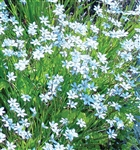 Blue Eyed Grass Sisyrinchium angustifolium