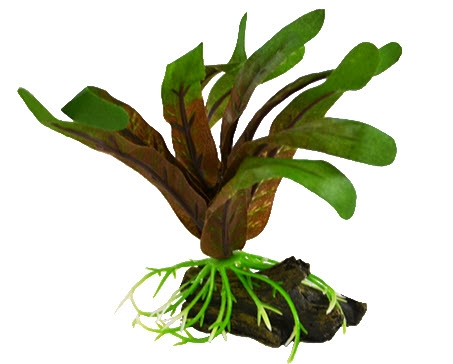 Deep Blue Betta Plant Small Cryptocoryne 3-4 inch