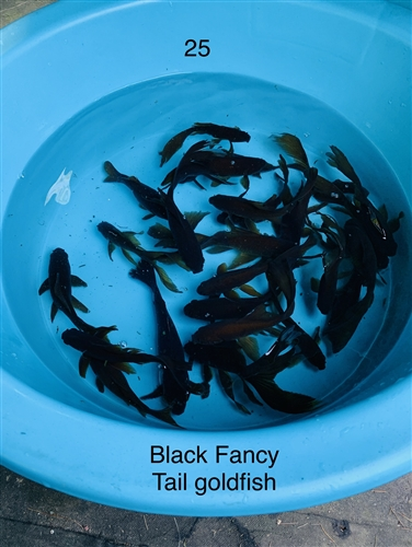Fancy Black Goldfish Group 1 Tank 6