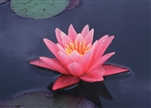 NYMPHAEA  PINK SENSATION Hardy Waterlily