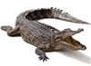 Whole alligator average 15 to 16 lbs., gator meat, alligator meat, alligator tail, where to buy alligator meat, gator meat for sale, buy alligator meat, alligator tail meat, gator tail meat, where can I buy alligator meat, alligator tail meat for sale