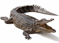 Our Alligators are farm raised in USA. Alligator Mississippiensis. Exotic Meat Market offers whole head on alligators from 40 to 45 Lbs. Alligator is fully gutted. Ready to smoke or grill. Alligator meat is lean, firm and almost pink in color.