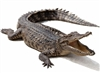 Our Alligators are farm raised in USA. Alligator Mississippiensis. Exotic Meat Market offers whole head on alligators from 5 to 6 Lbs. Alligator is fully gutted. Ready to smoke or grill. Alligator meat is lean, firm and almost pink in color.