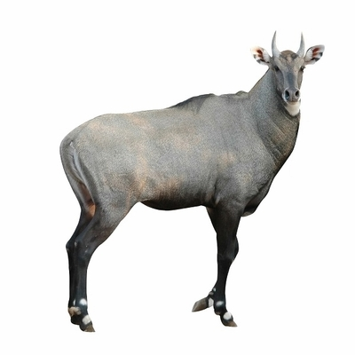 Exotic Meat Market offers Antelope Denver Leg. Antelope is naturally tender, cuts from the leg can be used like steak cuts. The name Denver Leg is used to describe the collection of the four leg primals - the Rump, Topside, Silverside and Knuckle.