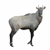 Exotic Meat Market offers Nilgai Antelope Meat from Nilghai's born raised and harvested in the USA. Nilgai Meat is red, sweet and lean. Nilgai Meat is more healthful and flavorful because it is truly grass fed or brush fed meat.