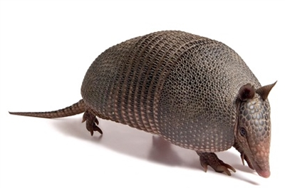 Armadillo meat, armadillo stew meat, armadillo testicles, armadillo shell, where can I buy armadillo meat, where can I buy armadillo shell, where can I buy armadillo, armadillo meat for sale, armadillo meat nutrition, armadillo meat recipes