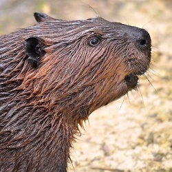 Beaver Meat is red, rich, and delicious. Wild Beaver Meat should be marinated for at least 24 to 48 hours and cooked slowly in crock pot with broth. Add your own favorite spices, herbs, fresh ginger, fresh garlic, and fresh onions.