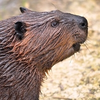 Beaver, beaver stew meat, beaver tail, where can I buy beaver meat, wild meat, beaver meat for sale, beaver meat recipes, beaver meat price, beaver sausage, beaver hotdogs, beaver salami, beaver pepperoni, beaver meat near me, beaver meat nutrition