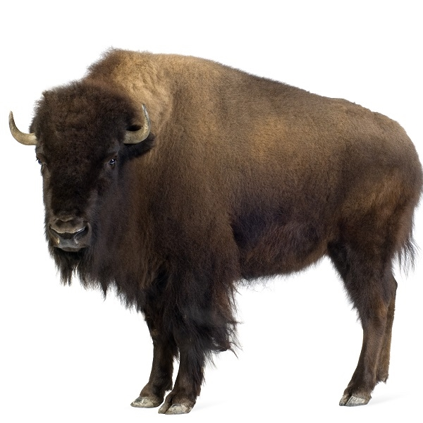 Bison Burgers Buffalo Burgers Where Can I Buy Bison