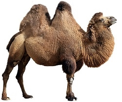 Camel Hump Fat contains Conjugated Linoleic Acid, Arachidonic acid, Caprice acid, Lauric Acid, Stearic Acid, Palmitoleic Acid, Beta Carotene, plus vitamins A, E, K, B12, and Biotin. And there's three times more Oleic acid than in coconut oil.