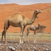 Camel Milk sound exotic, but camel milk is popular in the whole Gulf.