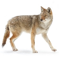 Coyote meat is high in protein and low in fat (about 2%). Coyote meat is stronger in flavor than the meat from commercially-raised food animals.