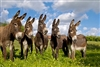 Exotic Meat Market has partnered with the world's largest Donkey Dairy in the world to bring Certified USDA ORGANIC DONKEY MILK POWDER and DONKEY MILK CHEESE to the USA. Donkey's milk is similar to human milk for its lactose, proteins and minerals.