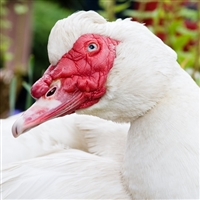 Muscovy Duck, Fresh Muscovy Duck, Muscovy Duck for sale, Muscovy Duck online, whole Muscovy Duck, whole fresh Muscovy Duck, how to cook fresh Muscovy Duck, where to buy Muscovy Duck, Muscovy Duck price, Muscovy Duck near me, Muscovy Duck breast meat