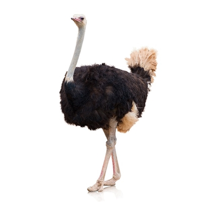 Exotic Ostrich Farm is located in City of Perris, State of California, USA. Our Ostrich Eggs are gathered daily, washed, sanitized and held at a constant temperature until time of shipment or pickup.