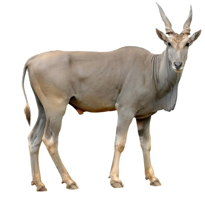 Eland Liver is the most nutrient dense organ meat, and it is a powerful source of vitamin A. Vitamin A is beneficial for eye health and for reducing diseases that cause inflammation, including everything from Alzheimer's disease to arthritis.
