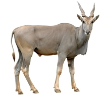 Eland Tail - One Whole Tail