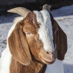 "Exotic Meat Market offers Goat Brain. Brain meat contains omega 3 fatty acids and nutrients. The latter include phosphatidylcholine and phosphatidylserine, which are good for the nervous system. Brain meat is sometimes referred to as ""SUPER FOOD."""