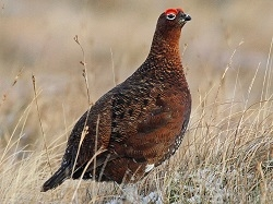 Grouse, Red Grouse, Scottish Grouse, Wild Grouse, Gourmet Grouse, Game Bird, where can I buy scottish red grouse, red grouse price, grouse recipes, Scottish wild game, hunting, food, organic, poultry, spices, Exotic Meat Market, Anshu Pathak exotic meats