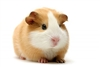 guinea pig meat for sale, Peru guinea pig meat,  