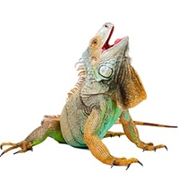 Exotic Meat Market offers Boneless Wild Iguanas Meat harvested in Puerto Rico. For centuries, Iguana has been consumed throughout Central America; now available in the USA. Wild Iguanas are offered, skin-on, skinless and boneless in the USA.