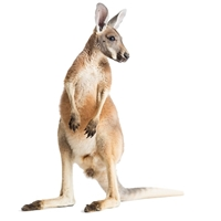 Kangaroo Hotdogs, Buy Kangaroo Hotdogs, Kangaroo Hotdogs for sale, Kangaroo Hotdogs price, Kangaroo Hotdogs near me, Exotic Meat Market Kangaroo Hotdogs, Exotic Meats, Kangaroo, Meat, Game Meat, Australia, Invasive species, food, dinner, Anshu Pathak