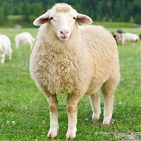 Lamb - Organic - Halal - Average 30 to 40 Lbs.