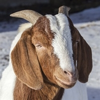Leg of Boer Goat is a cut with a reputation that says party time. Our leg of goat is center cut to provide the prime center section of leg. The rump and shank have been removed for easier cooking and consistently tender meat.