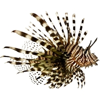 Lionfish - 1 Fish - Frozen - Product of USA