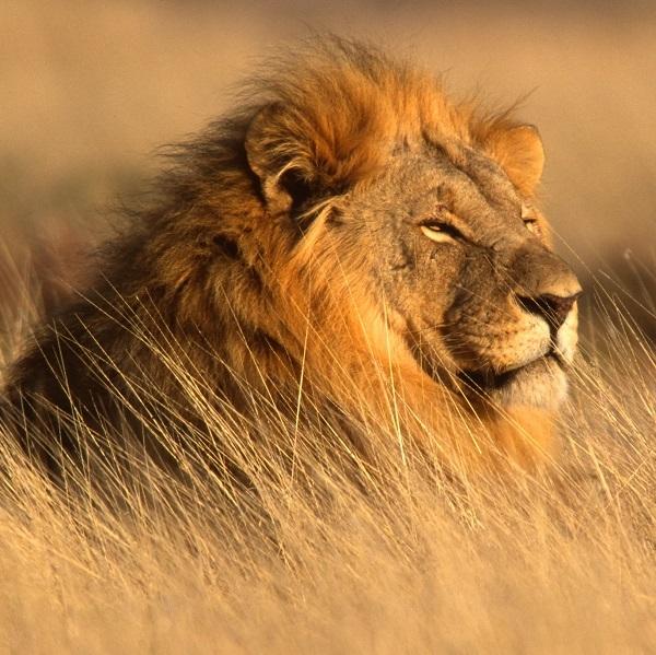 Lion Meat - 1 Lb