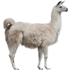 Llama meat is lean like all game meats. Llama meat is deep red, tender and delicious. The ancient Inca civilization domesticated Llamas for approximately 5,000 years. Many llamas and alpacas were sacrificed to the Gods every year by the Incan culture.