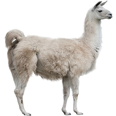 Llama Tongue is a delicacy. Tongue meat is rich in calories and fatty acids, as well as zinc, iron, choline, and vitamin B12. This meat is considered especially beneficial for those recovering from illness or for women who are pregnant.