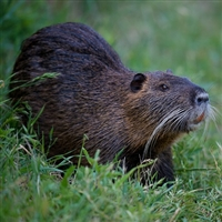 Nutria Meat, Buy Nutria Meat, Nutria Meat recipes, Nutria Meat price, Nutria Meat from Exotic Meat Market, Nutria Meat near me, Nutria Meat online, Nutria Meat for human food, Nutria Meat for pets, Nutria Meat on Google, Anshu Pathak Nutria Meat, Meat