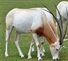 Exotic Meat Market offers Scimitar Oryx Liver. Scimitar Oryx are harvested in private ranches in the USA. Scimitar Oryx meat is 97% lean. Scimitar Oryx Meat is a more healthful and flavorful alternative to the standard boeuf du jour.