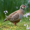 Scottish Partridge is a small compact bird with a rounded head sitting on top of a short, thick neck. Light brown on its back, it has bright barring on its flanks, a dark eye stripe above pale throat feathers, a black and slightly speckled collar.