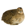 Cavendish Whole Jumbo Quail from Vermont - 4 Pack