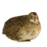 California Super Jumbo Whole Quails - 12 Pack