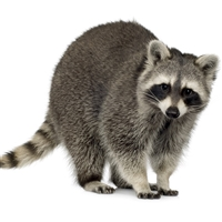 Raccoon Stew Meat, raccoon meat, raccoon meat for sale, where can I find raccoon meat, where can I buy raccoon meat, where can I purchase raccoon meat, raccoon meat recipe, raccoon meat recipes, raccoon meat taste, raccoon meat nutrition, exotic meat