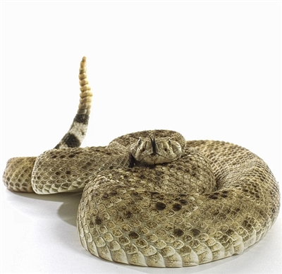 Western Diamondback Rattlesnake Meat, Buy Western Diamondback Rattlesnake Meat, Purchase, Western Diamondback Rattlesnake Meat online, Where can I buy Western Diamondback Rattlesnake Meat, Western Diamondback Rattlesnake Meat recipe, Western Diamondback