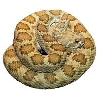 Prairie Rattlesnake - Crotalus viridis - 1 Lb. Legal for California