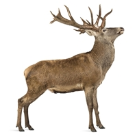 NEW ZEALAND RED DEER Ground, 10 Lbs. 1 Lb. Packages